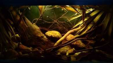 Photo of Mieczyki zielone w akwarium środowiskowym