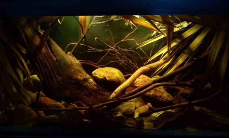 mieczyki zielone akwarium biotopowe