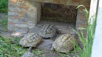 Photo of Żółwie lądowe – w terrarium czy na wybiegu zewnętrznym?