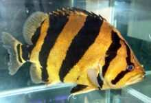 Photo of Coius microlepis
