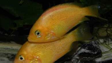 Żółtaczek indyjski (Etroplus maculatus)