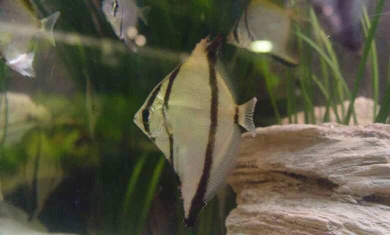Srebrzyca Seby (Monodactylus sebae)