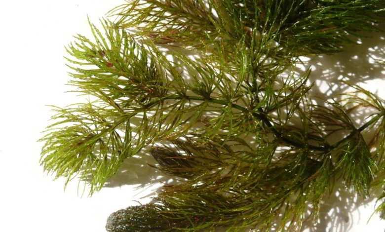 rogatek sztywny Ceratophyllum demersum. Fot. Bernd Haynold