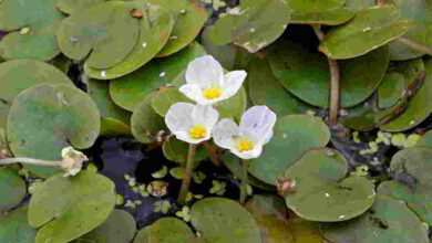 Photo of Hydrocharis morsus-ranae