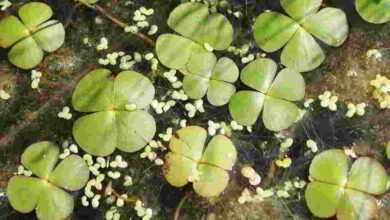 Photo of Marsilea quadrifolia