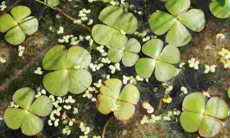Marsylia czterolistna Marsilea quadrifolia