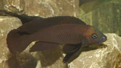 Neolamprologus pectoralis w ciemnym ubarwieniu