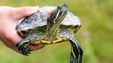 Photo of Czy błotny jest jedynym żółwiem w środowisku Polski?