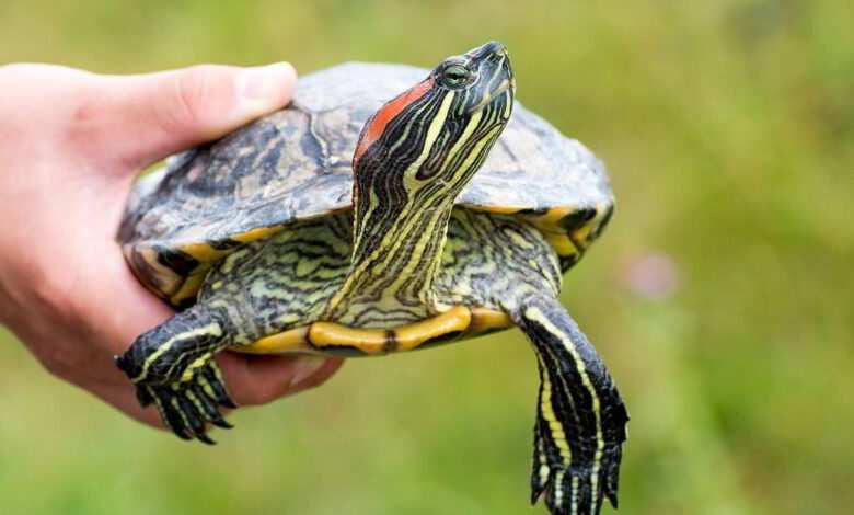 żółwie - żółw czerwonolicy