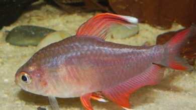 Photo of Bystrzyk ozdobny Hyphessobrycon bentosi – chów i rozmnażanie w akwarium