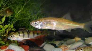 Photo of Strategie rozrodcze: ryby niezajmujące się potomstwem