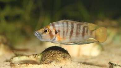 Photo of Akwarium biotopowe z pielęgnicami jeziora Tanganika