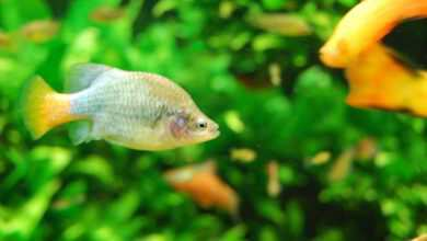 Photo of Strategie rozrodcze ryb: ryby noszące potomstwo ze sobą