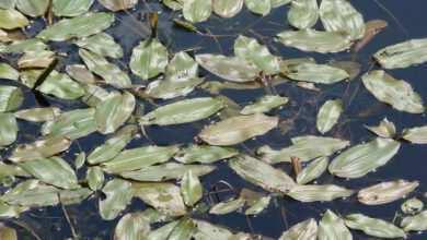 rdestnica połyskująca Potamogeton lucens