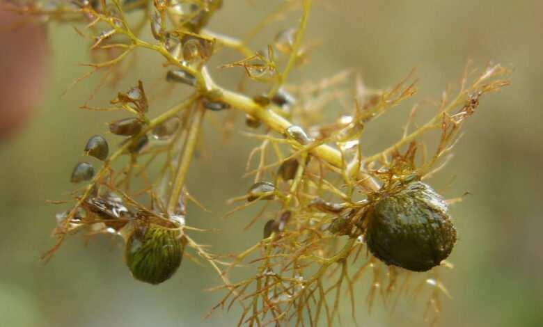 Pływacz zwyczajny Urticularia vulgaris