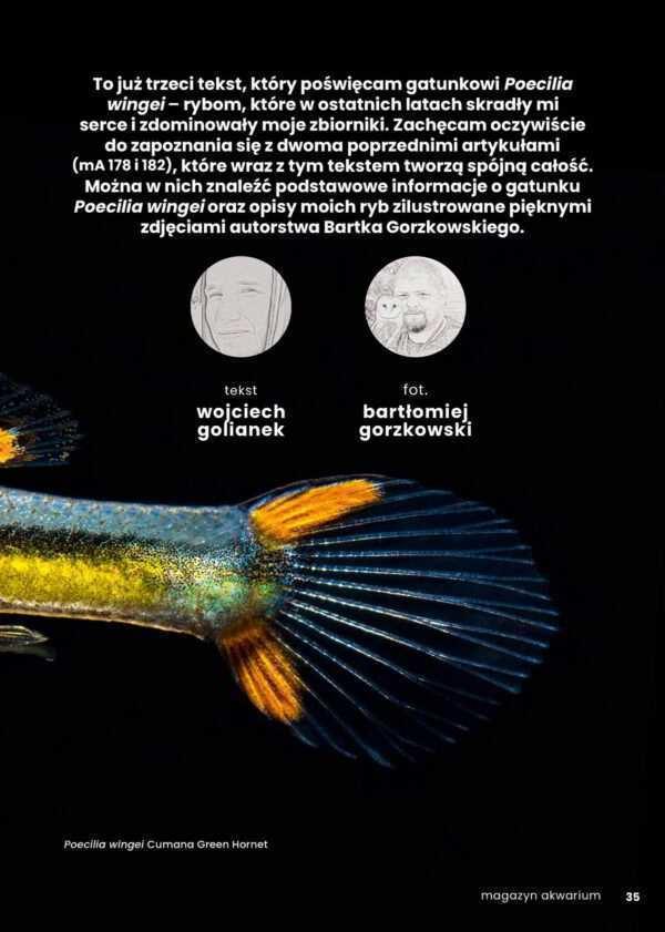 Poecilia wingei rybki akwariowe