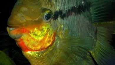 Mesonauta insignis fot Pawel Czapczyk
