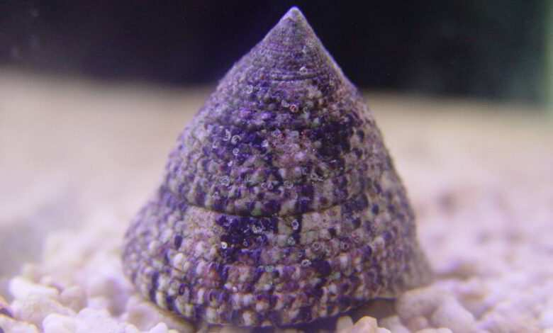 Trochus sp. Fot. Darek Firlej akwarium morskie