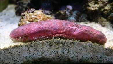 Holothuria edulis ogórek morski strzykwa