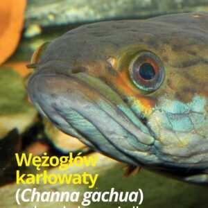 Wężogłów Channa gachua
